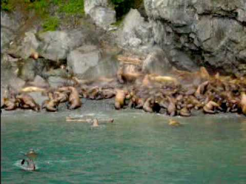 Steller Sea Lions in Prince William Sound Valdez