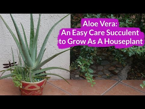 Aloe Vera: An Easy Care Succulent To Grow As A Houseplant