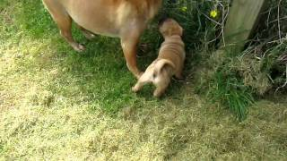 Shar Pei Pup For Sale (red Fawn Bitch ) Cambridgeshire 8 Weeks Old