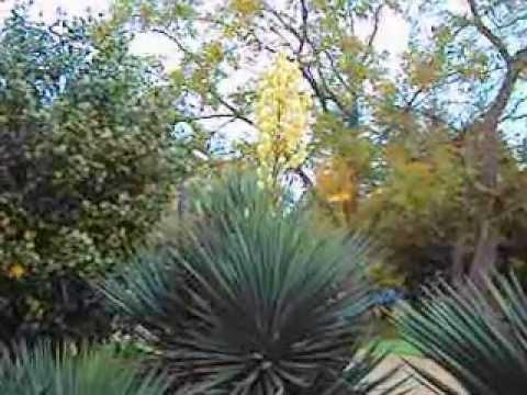 фото юкка садовая
