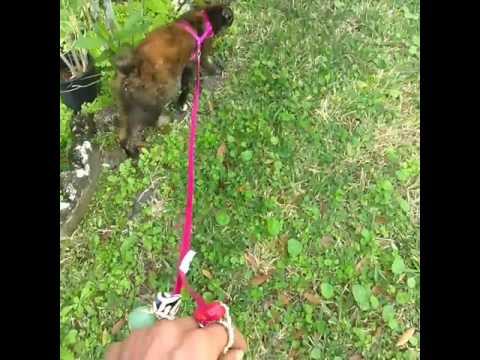Tortoiseshell Bobtail Cat walks on leash