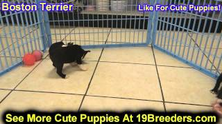Boston Terrier, Puppies, For, Sale, In, Baltimore, Maryland, Md, Fort Washington, South Laurel, Reis