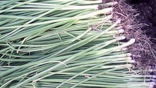 Сбор урожая зеленого пера лука. Сорт грин баннер.