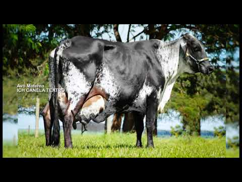 LOTE 219 ARGENTINO K85 IFC