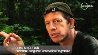 Once-blind Sumatran orangutan abandons son     02:29
