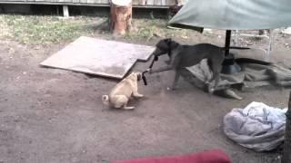 Pug V.s Pitbull