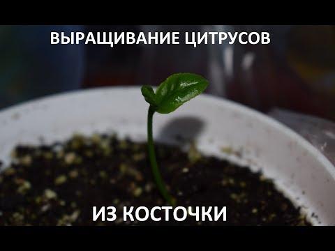 МАНДАРИН ИЗ СЕМЯН. Выращивание мандарина, лимона, апельсина из косточки
