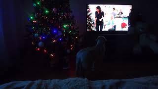 Собака смотрит телевизор! 11.01.2018 Labrador Jesse