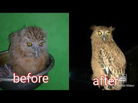Perawatan Buffy Fish Owl Dari Bayi Sampai Dewasa