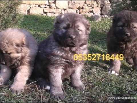 Safkan Gürcistan Çoban Köpeği