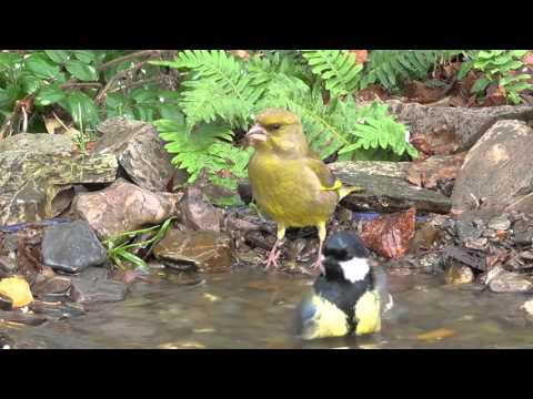 6 birds - 5 species bathing together. germany