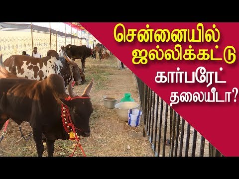 Jallikattu in chennai no corporates involved tamil news, tamil live news, news in tamil red pix  CHENNAI: Jallikattu, the bull-taming sport, which triggered contentious debate between animal rights activists and politicians in Tamil Nadu last year, is back in the spotlight again, albeit in a more glitzy avatar.   Groups such as -Tamil Nadu Jallikattu Peravai and Chennai Jallikattu Amaipu—are in the midst of hectic plans to organise the sporting event in the heart of the state's capital, in a bid to raise the profile of what is largely viewed a rural pastime. The groups have also crafted a leaguestyle format to attract city crowds, a move that has angered purists upset over what they see as brazen commercialization of a traditional sport.   The organisers, who had zeroed in on a 50-acre strip along the East Coast Road for the contest have been forced to alter plans as concerns over security and logistic support increase sharply.