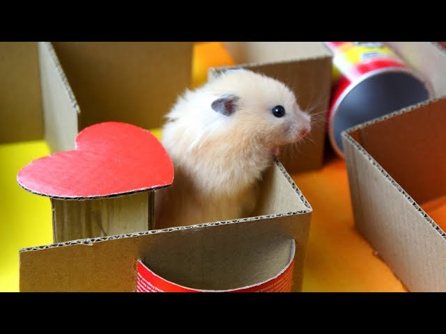 Hamster KING-OF-THE-HILL Maze