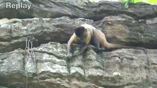 Probe tool use by capuchin monkeys / Uso de sondas por macacos-prego