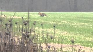 A shotgun start this morning, as a fox was viewed crossing a field ...