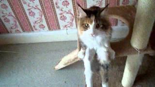 【可憐】少女のように腰掛ける美人猫、スラリとした美脚を披露