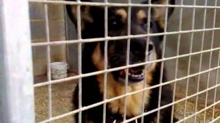 German Shepherd Smiling.mp4