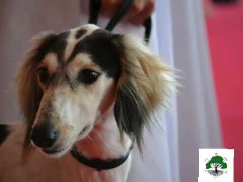 World oldest dog breed salukis|( solughi) from Bahrain
