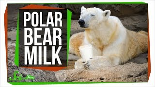 What Does Polar Bear Milk Taste Like?