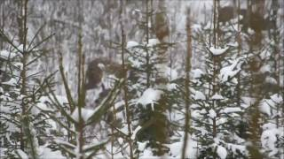sarny i jelenie zima