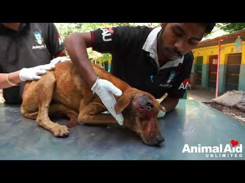 Crawling with maggots dog rescued with huge wound (graphic content)
