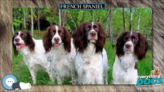 French Spaniel  Everything Dog Breeds