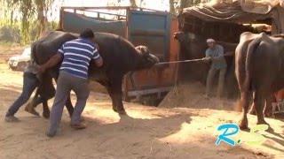 Рынок буйволов. Пенджаб. Индия