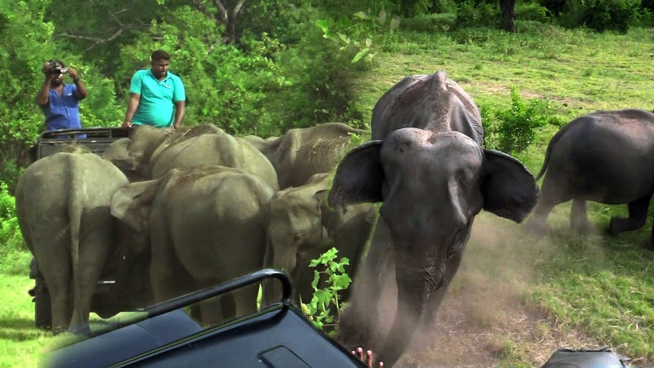 Safari jeep was surrounded by a herd of elephants at the Minneri national park.