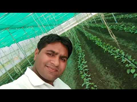 Betel Leaf Farming in poly house पान की खेती09806188830