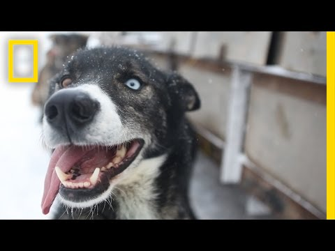 Sled Dogs More Than Meets The Eye National Geographic