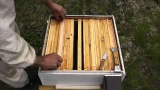 загружаю пчёл строительством сотов.