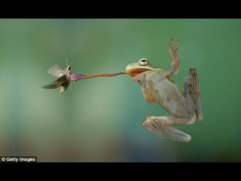 Got it licked! How frogs catch flies with their sticky tongues: