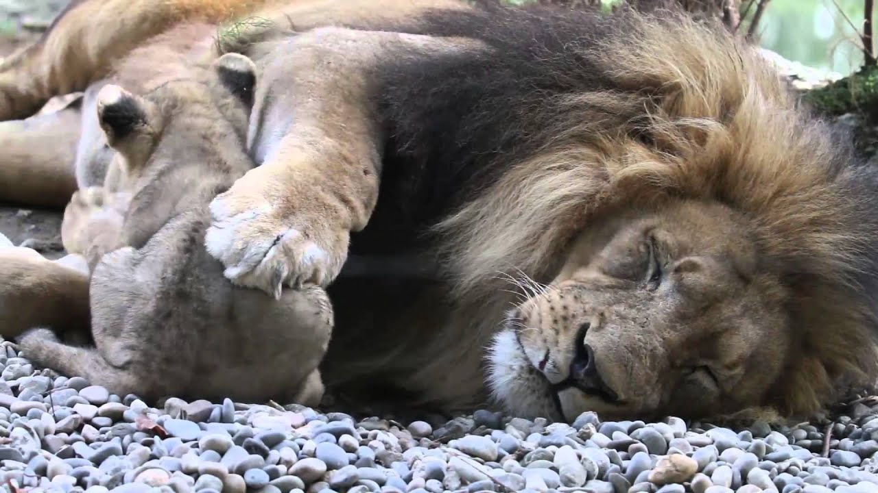 The African Lion Family Youtube