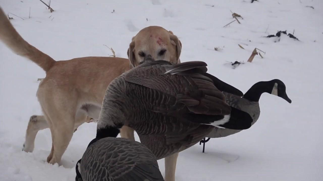 Minnesota Goose Hunting- Late Season Honkers in the snow!!