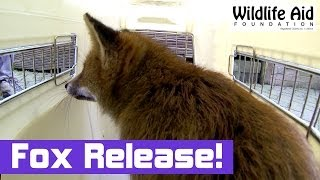 Tired Fox gets Released Back to the Wild - Wildlife Animal Rescue