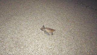 鹿児島県沿岸各地の砂浜は有数のウミガメの産卵地。アカウミガメやアオ...