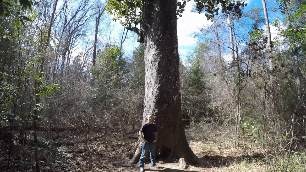 Biggest Magnolia Tree In Mississippi Youtube