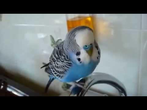 Ругающийся попугай  После 18 и старше! Прикол, юмор, смешно  Эти смешные животные
