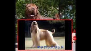 【大型犬】日本では珍しい大型犬.