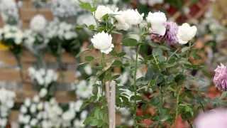 VIDEO-CONSEJO 3 - Los rosales, como cuidarlos y podarlos
