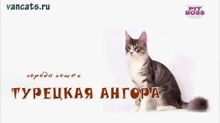 Ангорская кошка, Порода кошек Турецкая Ангора