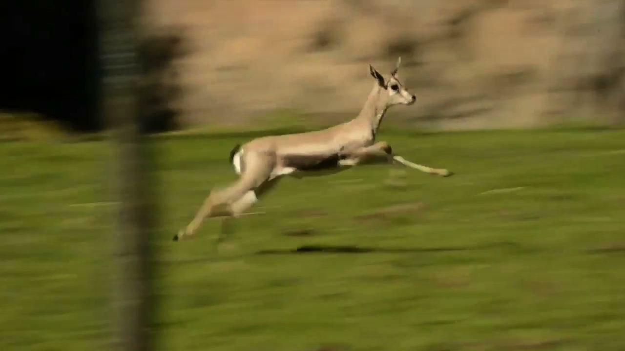 Baby gazelle that almost didn't survive birth now zooms around Oregon Zoo - YouTube