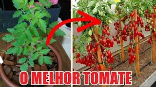 Descubra Qual É O Melhor Tomate Para Plantar
