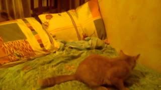 кот персей