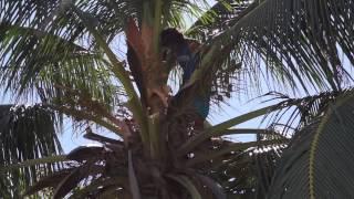 Coconuts | Climb | Cut | Smash - Tamarindo Reboot Camp Costa Rica