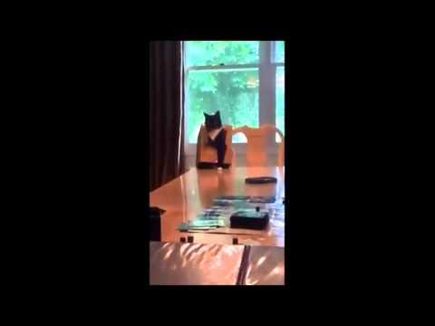 Ultimate Fail – Cat Falls Off Table   VINE   The Snail Cat #1