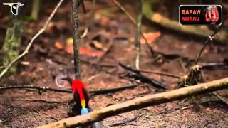 Repeat youtube video นกสวยๆ หาดูยาก (ปักษาสวรรค์)