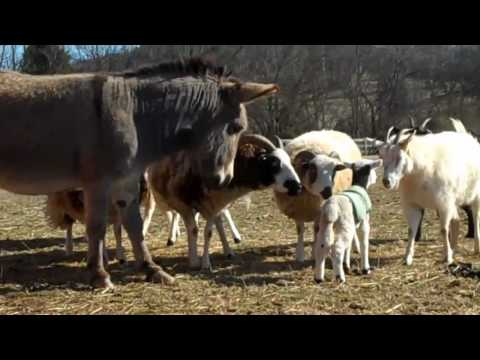 5 Day Old Jacob Sheep Lambs