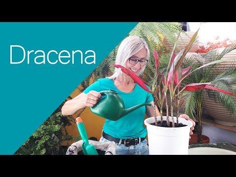 Como cuidar, plantar e fazer mudas da  Dracena  #paisagismo #jardinagem #jardim #dicas