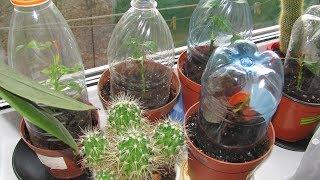 Растения из черенков  Как зимуют черенки дома